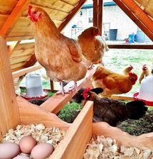 best breed for backyard chickens
