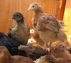 young chickens for sale east Texas