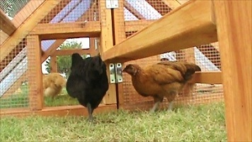 chicken coop and run - video