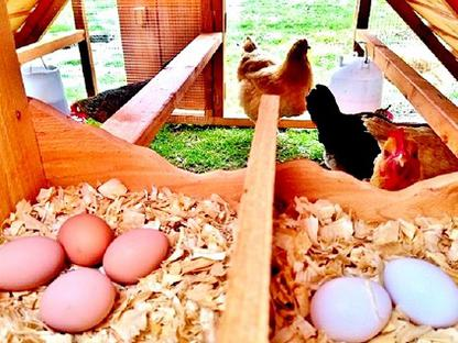 Chicks and Young Chickens for Sale Near Dallas, TX