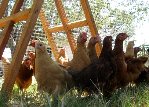 Partable backyard chickens fence/shelter for sale in Dallas Texas