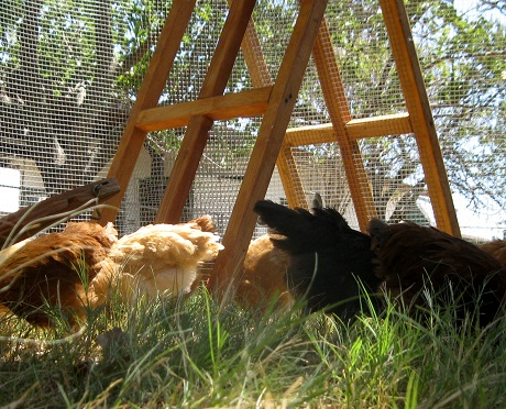 chicken run for free range chickens
