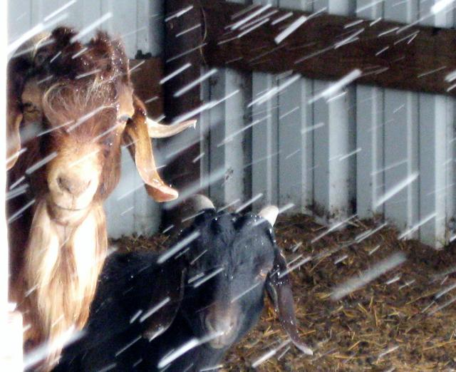 our goat loves snow