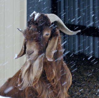 our goats love snow