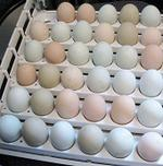 hatching eggs for sale in dallas texas
