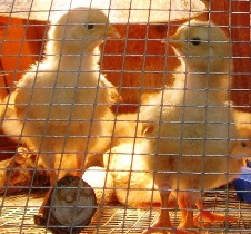 brooders for sale