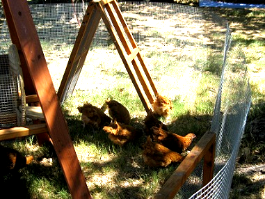 shelter for free range chickens