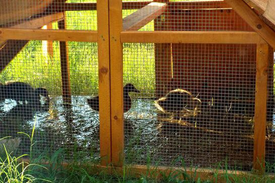 best duck coop idea