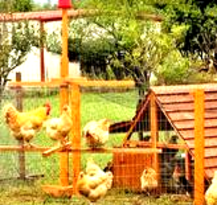 get a brooder now and have 6-24 laying hens in spring