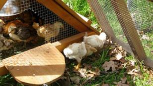 brooder for sale- first day out door