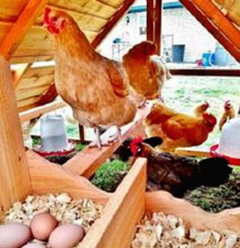 chicks and chicken coop EASTER SPECIAL