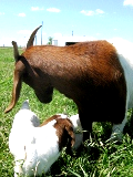 my pet goats