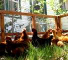 free range chicken fencing