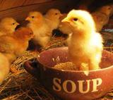 chicks for sale dallas tx
