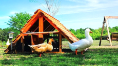 us made very large chicken coop for 20 or 40 or 60 chickens or ducks