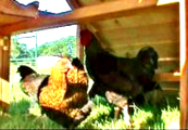 best predator-proof chicken coop for sale