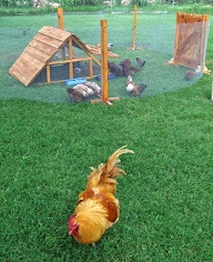 chicken yard- Texas ranch coops